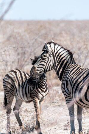 Two Burchells Plains zebra -Equus quagga burchelli- walking on the plains of Etosha National Park, Namibia.
