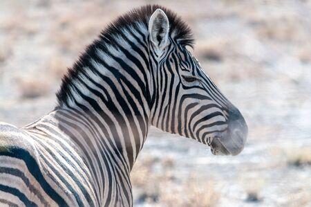 Closeup of the head of a Burchells Plains zebra -Equus quagga burchelli- in Etosha National Park, Namibia. Stock Photo
