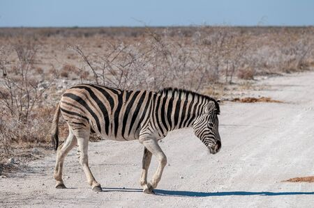 A Burchells Plains zebra -Equus quagga burchelli- crossing a road in Etosha National Park, Namibia.