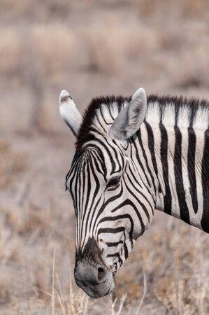 Closeup of the head of a Burchells Plains zebra -Equus quagga burchelli- in Etosha National Park, Namibia. Banco de Imagens
