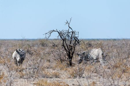 Three out of a group of four white Rhinoceros -Ceratotherium simum- standing on a barren plain in Etosha National Park, Namibia.