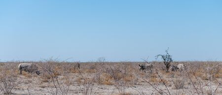A group of four white Rhinoceros -Ceratotherium simum- standing on a barren plain in Etosha National Park, Namibia.