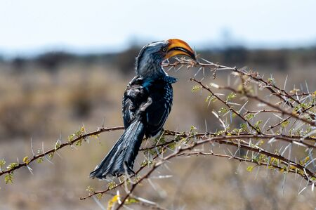 Closeup of a Southern yellow-billed hornbill - Tockus leucomelas- sitting on a branch of a tree in Etosha National Park, Namibia.
