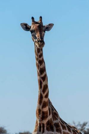 Closeup of the neck of an Angolan Giraffe - Giraffa giraffa angolensis- near a waterhole in Etosha national Park in Namibia. Banco de Imagens