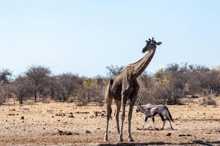One Angolan Giraffe - Giraffa giraffa angolensis- and one Orynx - Oryx gazelle- near a waterhole in Etosha national park, Namibia.