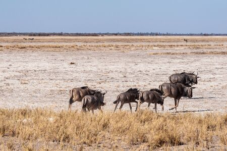 A herd of Blue Wildebeest -Connochaetes taurinus- also known as Gnus, heading out onto the salt pans of Etosha National Park, Namibia. Banco de Imagens