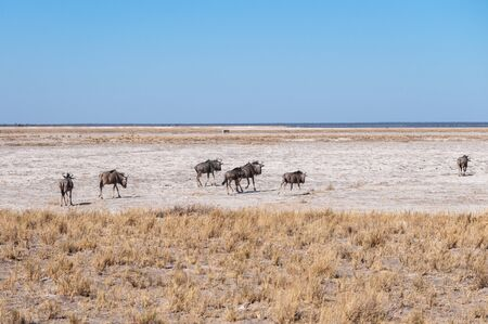 A herd of Blue Wildebeest -Connochaetes taurinus- also known as Gnus, heading out onto the salt pans of Etosha National Park, Namibia. Stock Photo