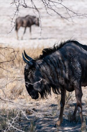 A Blue Wildebeest -Connochaetes taurinus- also known as Gnus, standing on the edge of the salt pans of Etosha National Park, Namibia.