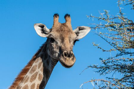 An extreme closeup of an Angolan Giraffe - Giraffa giraffa angolensis- head. Etosha National Park, Namibia.
