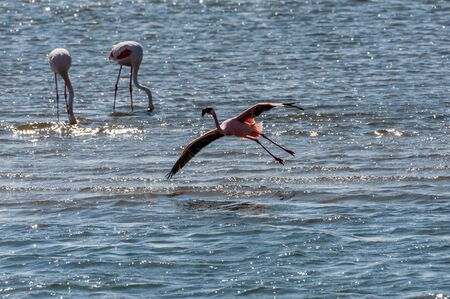 A flamengo -Phoenicopteridae- landing in water at Walvis Bay, Namibia.