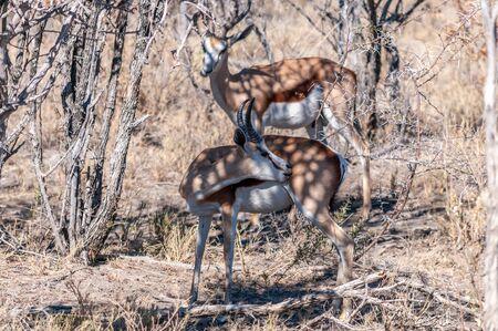 Two Impalas -Aepyceros melampus- hiding in the bushes of Etosha National Park, Namibia. Stock Photo