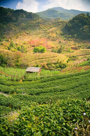 Tea plantation in the mountains of northern Thailand  Stock Photo - 19742248