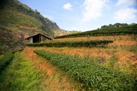Tea plantation in the mountains of northern Thailand  Stock Photo - 19742257