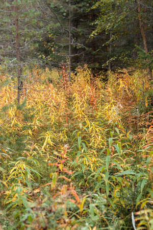 Close up of plants against the backdrop of the autumn forest. Tysjoarna, Sweden. Фото со стока