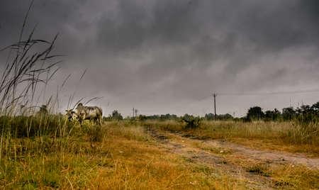 Strom: Cow, in strom Stock Photo