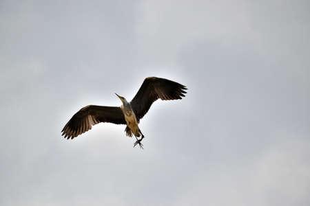 picture Flying Herons (Ardea cinerea) in the Elbe river valley, Czech Republic 免版税图像