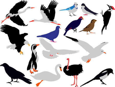 magpie: birds collection vector
