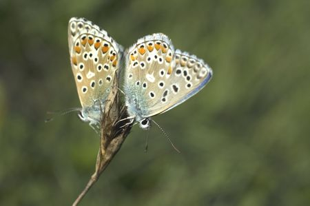 two butterflyes on the flower Stock Photo - 510776