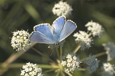 blue butterfly on flower Stock Photo - 510779