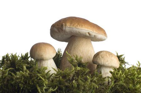 fungous: mushroom close-up on white background