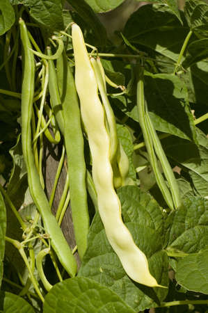 yello: yello string beans in nature Stock Photo