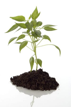 vegetate: chili green plant close up on white Stock Photo