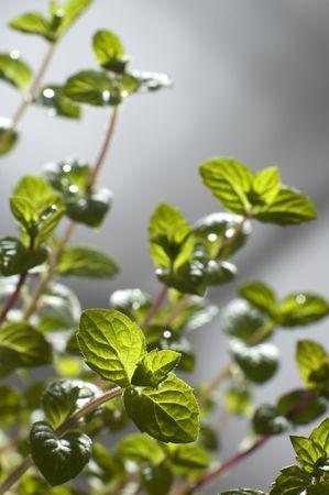 meta: green meta plant leaves close up shoot
