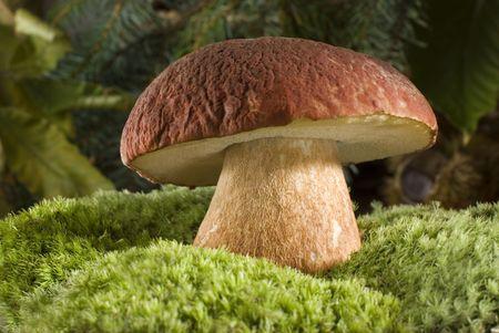 mycelium: brown cap mushroom on moss close up