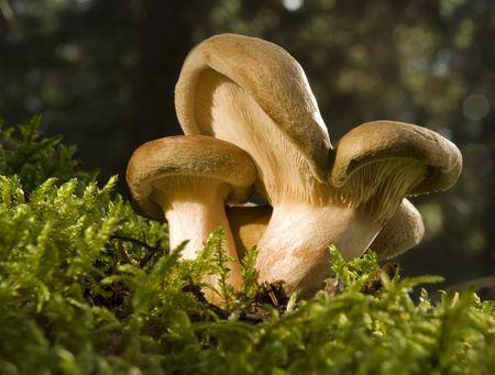 fungous: lactarius mushroom close up shoot on moss Stock Photo