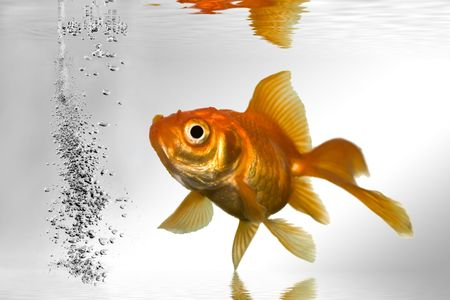 gold fish swimming in tank close up shoot photo