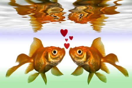two gold fish kiss in fish tank close up photo