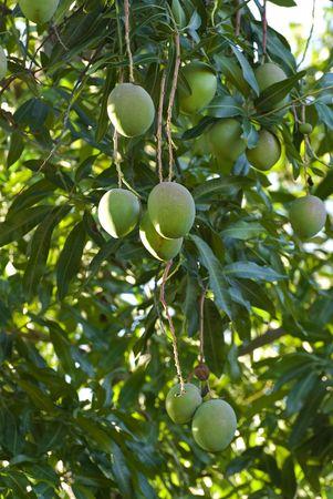 green fruits on mango tree in cuba Stock Photo