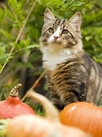 cat with pumpkin outside close up shoot