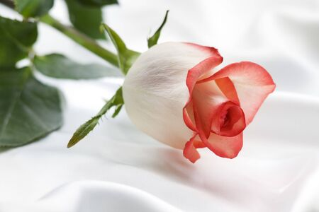 beautiful rose on a silk close up shoot Stock Photo - 4188973
