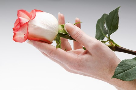 woman hand holding rose close up shoot
