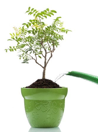 watering the bonsai tree in the pot on white photo