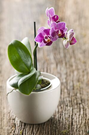 purple orchid: Beautiful purple orchid on wooden board close up Stock Photo