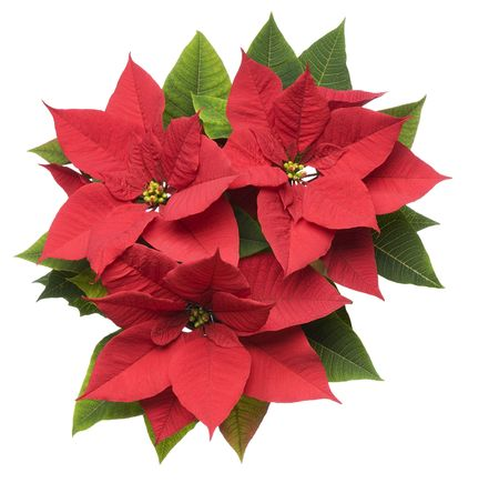 pulcherrima: Poinsettia plant isolated on white close up