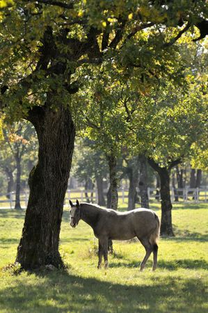 lipizzan horse: Grey horse in nature under the tree