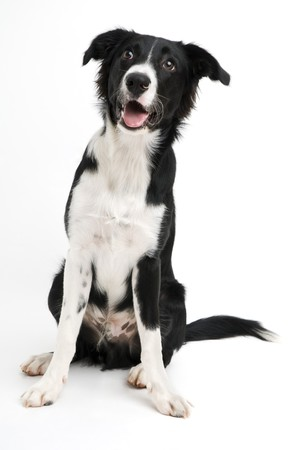 Young border collie sitting on white background close up photo