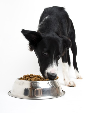 border collie puppy: Young border collie eating food on white background close up Stock Photo