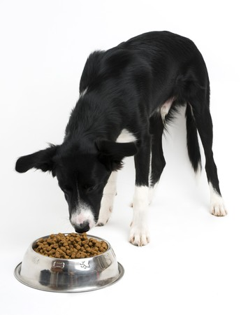 Young border collie eating food on white background close up