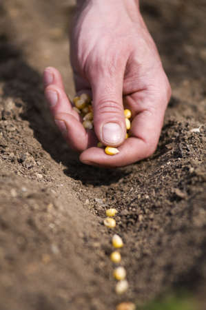 Male hand seeding corn close up shoot Stock Photo - 9415044