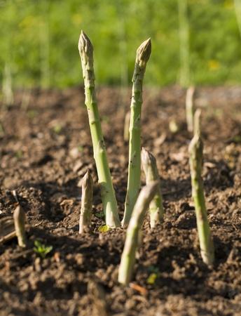 grow food: Fresh green asparagus growing on the garden