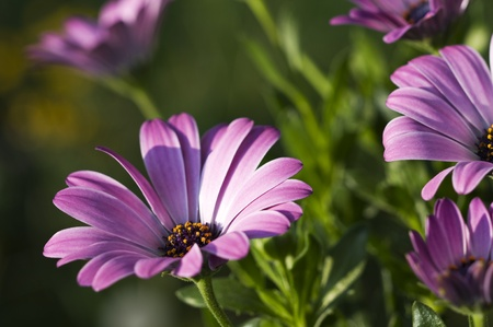 Close up of african daisy on the garden photo