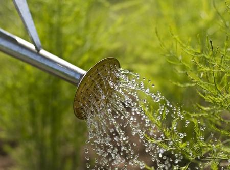 arroser plantes: Arrosoir sur le jardin de pr�s pousses