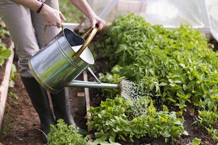 regando plantas: Cerrar plantas de riego de joven en invernadero