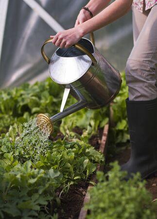 arroser plantes: Les jeunes arrosage des plantes femme en ?troite serre jusqu'?