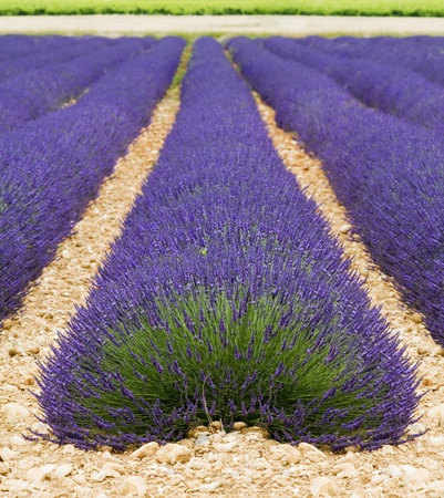 Beautiful purple lavender field in provence - France photo