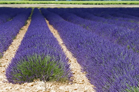 lavender bushes: Beautiful purple lavender field in provence - France